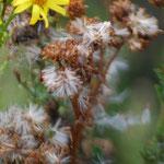 Senecio jacobaea Blüte und Samenstand
