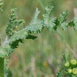 Senecio vernalis, Frühlingskreuzkraut, Blatt Detail