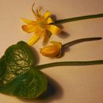 Scharbockskraut / Frühjahrsblüher / schwach giftig