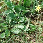Größenvergleich: links Jakobskreuzkraut Rosette im April, rechts Einzelpflanze Frühlingskreuzkraut