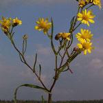 Schmalblättriges Kreuzkraut, Blüte