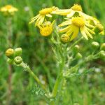Senecio vernalis, Frühlingskreuzkraut, Blüte Detail