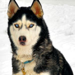 """© Fotograf: Jurec, Titel: """"Husky"""", Quelle: www.pixelio.de"""