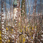 15. März: Blüten versperren den Blick zum Paulsner Dom