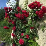 10. Juni: Rosen Blühen an einem Ansitz in Eppan-Berg