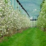 7. April: Die Apfelbäume stehen schon in voller Blüte.