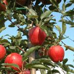 Der Gala ist ein eher kleiner, süßlich-saurer Apfel, der durch seine knallig rote Farbe ins Auge sticht.