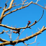 16. März: Der alte Marillenbaum setzt zu neuer Blüte an