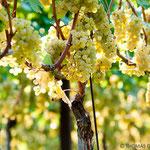 25. September: Goldfarben und erntebereit: Trauben der Sorte Chardonnay.
