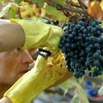 25. September: Mit der Lese der Lagrein-Trauben geht die Weinernte für heuer zu Ende.