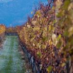 17. November: Der Herbst verwandelt sich in den Winter. Zwischen den Weinreben breitet sich Raureif aus.
