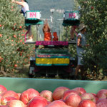 Gepflückt wird mit einem halbautomatischen Erntewagen.