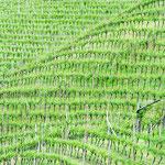 18. Mai: Ein Weinberg auf dem Weg vom Bauernhaif Ohnewein nach Missian.