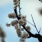 18. März: Der alte Marillenbaum in unserem Hof steht gerade in Vollblüte. Heuer haben wir ihm einen Radikalschnitt verpasst, damit auch seine Früchte wieder prächtig gedeihen.