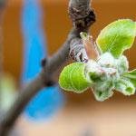 4. April: Die Apfelblüte lässt heuer noch auf sich warten. Aber nicht mehr lange...