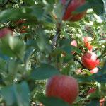 Die Äpfel leuchten von den Bäumen.