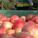 Die Äpfel werden in eine Plastikkiste gepflückt, in der 300 Kilogramm Äpfel Platz finden.