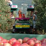 13. August: Die ersten Äpfel der Saison kommen vom Baum.