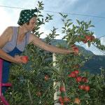 Mama Ohnewein legt natürlich auch bei der Ernte selbts Hand an.