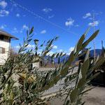 26. Februar: Der kleine Olivenbaum im Hof