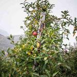 09. November: Ein einsamer Äpfel hängt noch am Baumer.