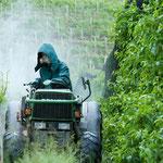 18. Mai: Wegen des vielen Regens müssen wir derzeit in den Obst- und Weinbergen ständig die Pilzkrankheiten bekämpfen.