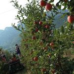 Auf jedem Baum hängen etwa 15 bis 20 Kilogramm Tafeläpfel.