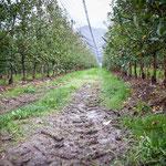 09. November: Endlich - so spät wwie kaum einmal - haben wir gestern die Apfelernte abgeschlossen.