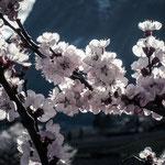 15. März: Kirschblüte in Ohneweins Garten