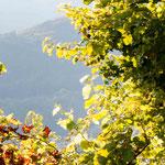 25. September: Ab Anfang August werden keine Pflanzenschutzmittel mehr ausgebracht, deshalb werden die Blätter - aber nicht die Trauben - von Pilzkrankheiten befallen und sterben ab.