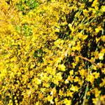 16. März: Wie ein Goldregen...