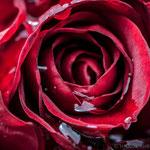 28. Juni: Die Rosen in Mamas Garten müssen heuer nicht oft gegossen werden. Diesen Job übernimmt heuer Mutter Natur...