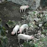 14. April: Glückliche Schweine im Burggraben von Schloss Hocheppan.