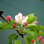 """7. April: Eine Apfelblüte in unserer Apfelanlage """"Korea""""."""