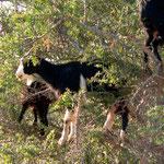 Ziege im Agarnbaum