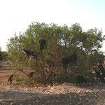 Agarnbaum mit Ziegen