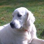 Goya, notre chienne Golden Retriever