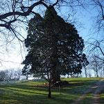 le séquoia - le plus beau, le plus grand et le plus âgé avec 250 ans