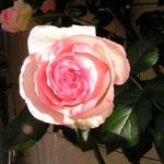 La rose - fleur culte des Pays de la Loire