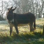 Tarco, un des 2 ânes du Domaine de Joreau