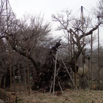 3月16日 明日から一段と気温が上昇します。少しお湿りもあり桜木の蕾みには最高の環境になります。