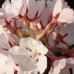 3月30日 暖かい今日 夕方には早くも3部咲きに