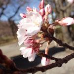 3月28日 本日数個以上の開花が見られました。「開花」です。