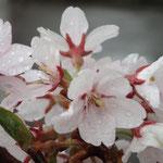 4月3日 雨で少し寂しい、隣のソメイヨシノも咲き始めています。