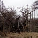 3月7日 今日は小雨模様、桜木には嬉しい。
