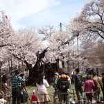 4月6日 大型観光バスが常時10台 花見客は今年の方が多そう