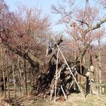 3月25日 観光協会が「神代桜」のノボリを立てて準備万端。