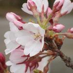 3月29日 気温は低く開花部分もまばら
