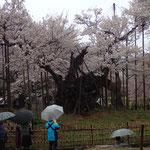 4月3日 婆桜も雨の今日は小休止
