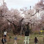 4月1日 4年前の満開時を比べると今年は多くの新しい枝に花が付いているのが分かります。嬉しい限り。